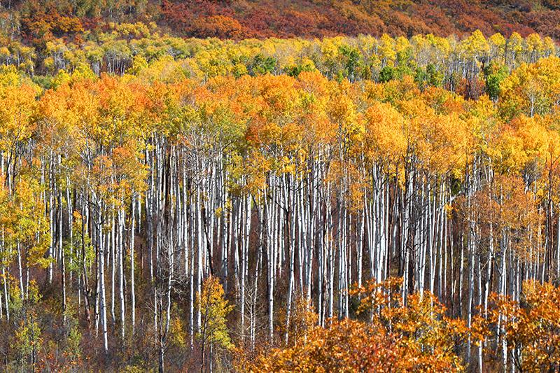 アスペンの林
